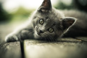 Veterinary clinic. Grey kitten