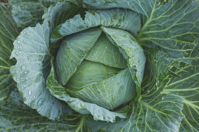 Allotment ideas. Close up of a cabbage