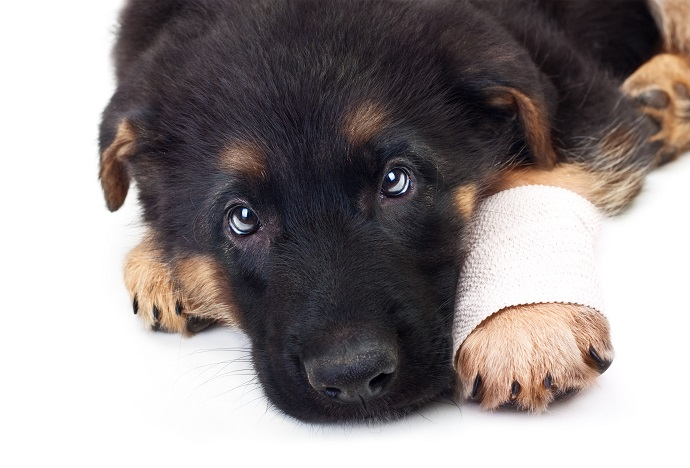 Puppy german shepherd dog with bandage on a white background.veterinary support assistant