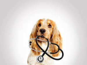 portrait veterinary support assistant dog spaniel on a gray background