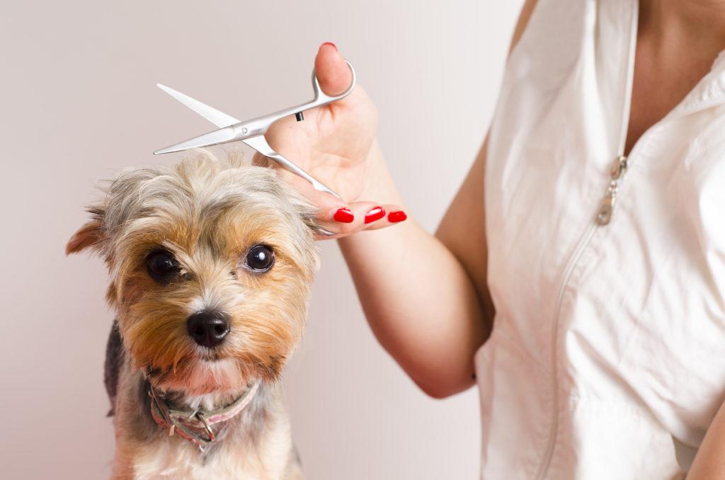 Dog having its hair cut