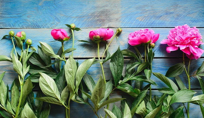 hobby top view of row pink peony flowers with green stalk and leaves lay on a blue board table, floristic element for bouquet or decorate celebrate concept