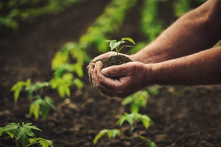 Man holding pepper plant in hands in field, homegrown organic vegetables