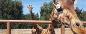 Course in Animal Care - Giraffe by fence